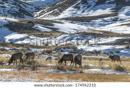 Wild Elk and Antelope grazing on the plains of Yellowstone in Winter - stock photo