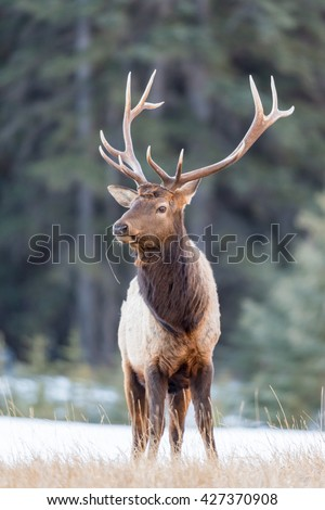 Wild Elk in winter, Banff National Park Alberta Canada - stock photo