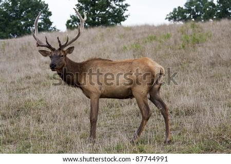 wild elk shedding velvet late summer close up - stock photo