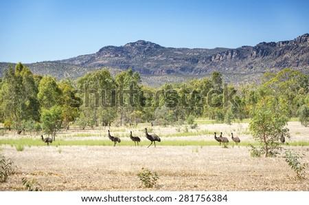 Wild emu birds in the beautiful landscape of Victoria's Grampians National Park - stock photo