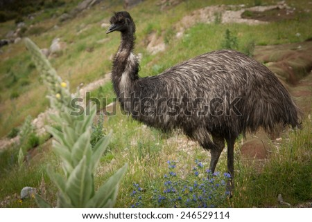 Wild emu carefully watching his three chicks near Snowy mountains highway