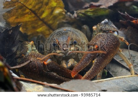 wild European freshwater crayfish (Austropotamobius pallipes): rare and endangered. Underwater shot in his habitat. - stock photo