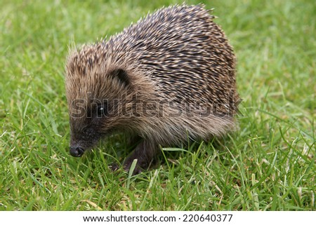 Wild European hedgehog during the day