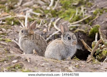 Wild European rabbits - stock photo