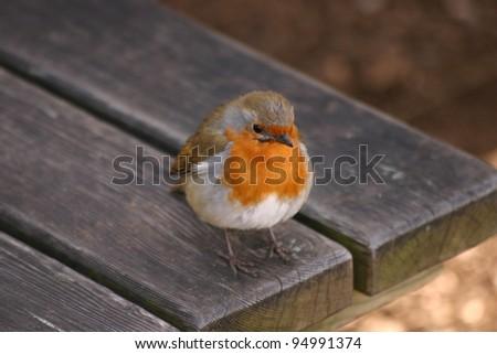 Wild European Robin stood upon garden bench - stock photo