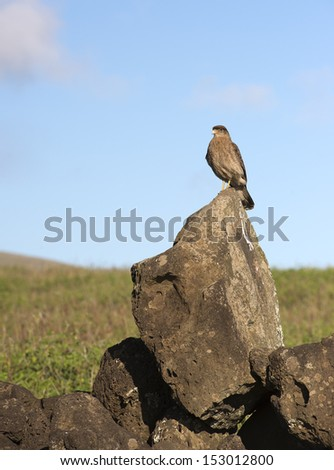 Wild falcon sitting on the stone in natural desert landscape.