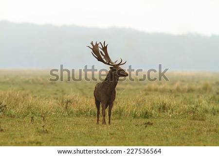 wild fallow deer stag ( Dama ) full of mud; the males are covering themselves with dirt in rutting season - stock photo