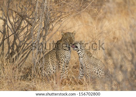 Wild female leopard interacting with cub - stock photo