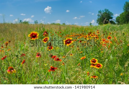 Wild field with Indian blanket flowers at summer season. - stock photo