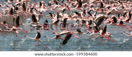 wild flamingo birds. Kenya. Africa. Nakuru National Park. Lake Bogoria National Reserve