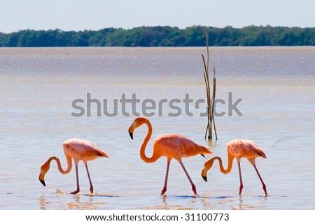 Wild flamingos in Mexico - stock photo