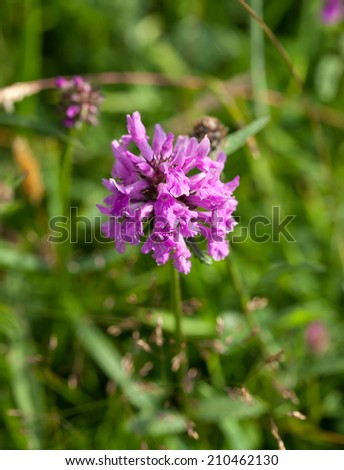 Wild flower Betony, growing on chalk downland The South Downs in Sussex. - stock photo