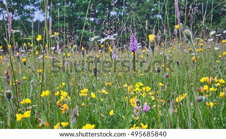 Wild Flower Meadow in the Sussex High Weald