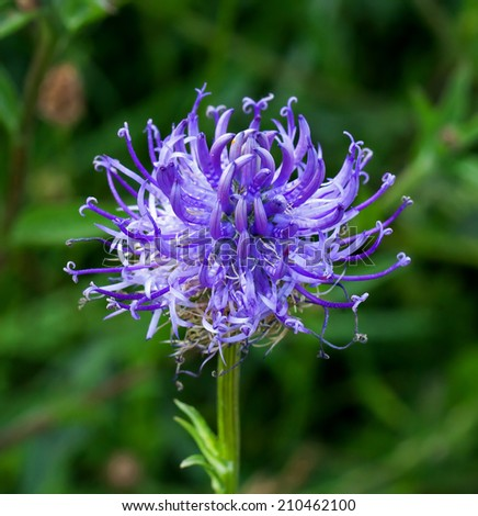 Wild flower Round-headed Rampion, scarce nationally UK but common on Sussex chalk downland. County flower of Sussex. - stock photo