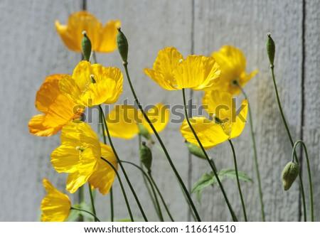 Wild flower yellow wild poppy seed stock photo royalty free wild flower yellow wild poppy seed flower mightylinksfo
