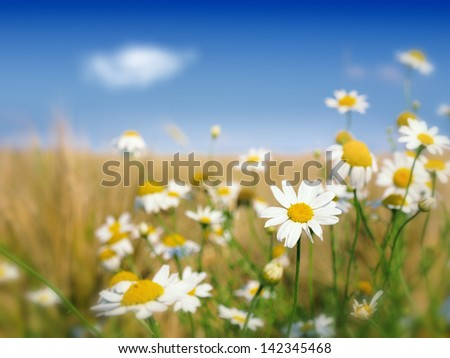 wild flowers and wheat field - stock photo