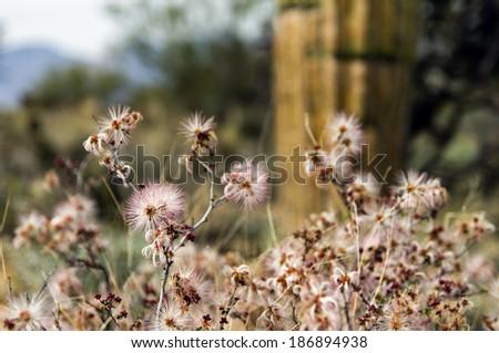Wild Flowers at Saguaro National Park, Tucson, Arizona Desert Flower / America / USA / Cactus / Wild West / Mexico / Las Vegas Background - stock photo
