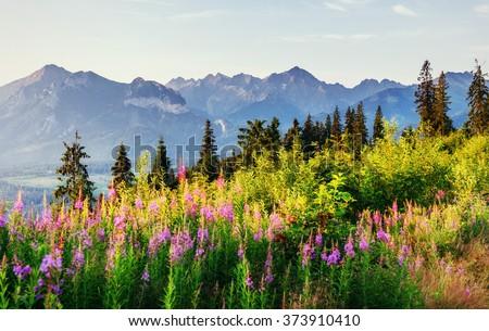 Wild flowers at sunset in the mountains. Poland. Zakopane. - stock photo