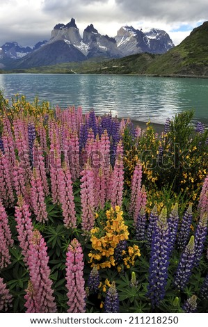 Wild flowers at the National Park Torres del Paine with Lake Pehoe and Horns of Paine, Patagonia, Chile, - stock photo