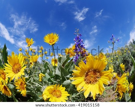 Wild Flowers, Blue Sky and Light Clouds.  Patterson Mountain near Winthrop, Washington, USA. North Cascades National Park.  - stock photo