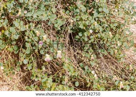 Wild flowers capers in desert - stock photo