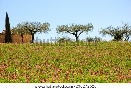 Wild flowers field and old farmhouse, three olive trees and cypress at backgrounds in Provence (France) - stock photo