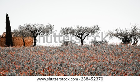 Wild flowers field and old farmhouse, three olive trees and cypress at backgrounds in Provence (France) Aged photo. - stock photo