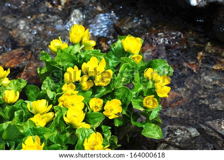 wild flowers growing in the mountains of Armenia,yellow wild flowers. - stock photo