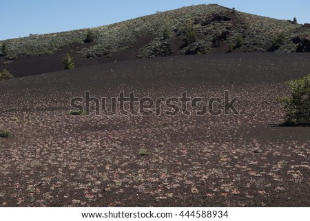 Wild flowers growing on volcanic rock, Craters of the moon, Idaho - stock photo