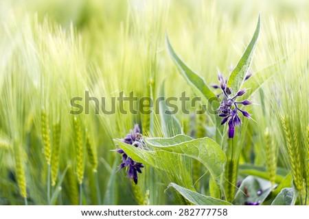 wild flowers in a barley field - stock photo
