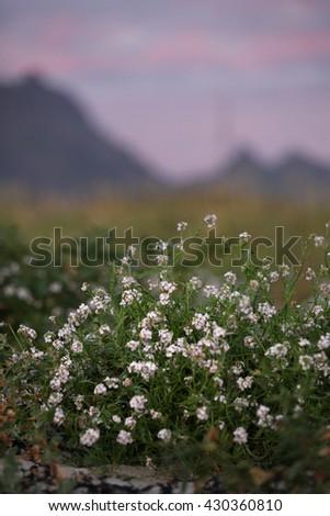 Wild flowers in Norway - stock photo