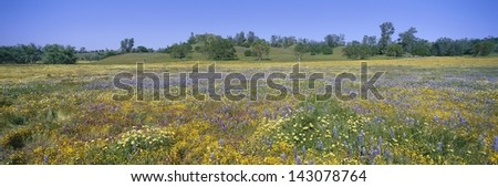 Wild flowers off Route 58 on Shell Creek Road west of Bakersfield, California - stock photo