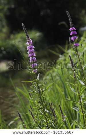 wild flowers on the border of a pond