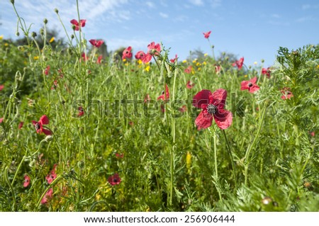 Wild Flowers, Papaver - stock photo