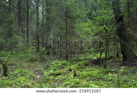 wild forest  fallen tree in the forest. wild forest median strip europe. Belarus