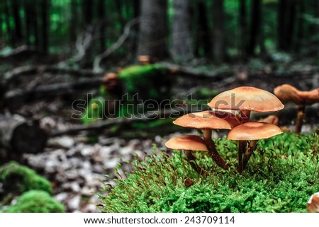 wild forest mushroom in the woods of Bavaria in Germany in fall. Picture of the fungi with lovely bokeh was taken on a warm September day. - stock photo