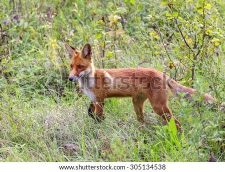 wild fox in a forest glade. - stock photo