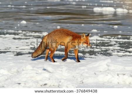 wild fox walking on frozen surface of the lake ( Vulpes vulpes ) - stock photo