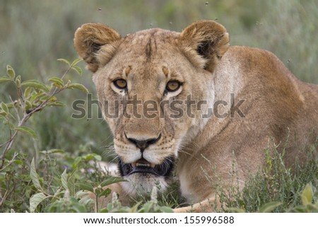 Wild free lion in the african savanna - stock photo