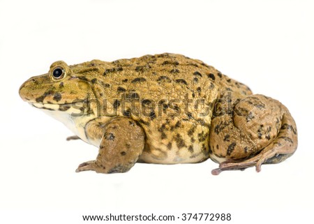 Wild Frog  on a White Background  - stock photo