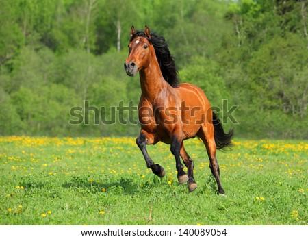 Wild galloping horse - stock photo