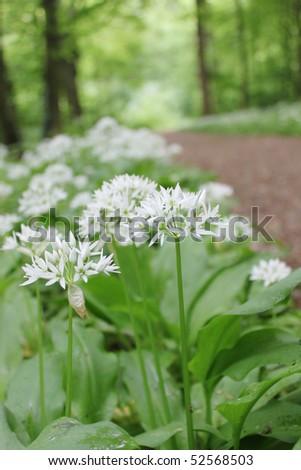 wild garlic - stock photo