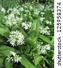 Wild Garlic, Allium ursinum, (Ransoms), flowering in the spring, growing in a natural woodland setting. - stock photo