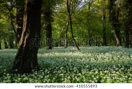 Wild garlic flowers in the forest