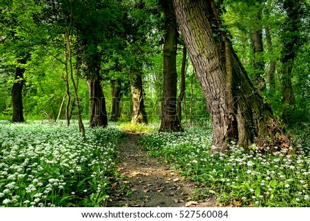 Wild garlic flowers in the forest with path