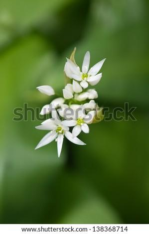 wild garlic in flower - stock photo
