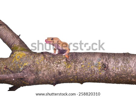 Wild gecko lick one's lips on a branch isolated on white background - stock photo