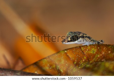 Wild gecko, Madagascar - stock photo