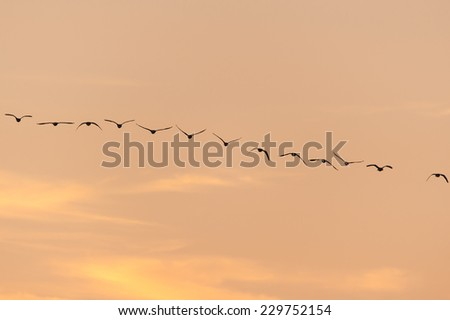 Wild geese flock silhouette - stock photo