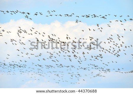 wild geese migrating